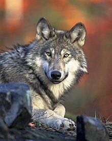 The Wolf 1 Doctrinal Problems of TPM - The Chief Pastor?